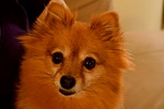 Pomeranian Dog. A Pomeranian dog looks curiously at the camera. Man`s best friend Royalty Free Stock Photography
