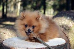 Pomeranian dog Stock Image