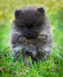 Pomeranian dog outside Royalty Free Stock Photo