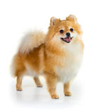 Pomeranian dog over white background Royalty Free Stock Photos