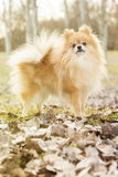 Pomeranian dog. In the park Royalty Free Stock Photography