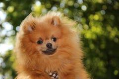 Pomeranian dog Royalty Free Stock Photography