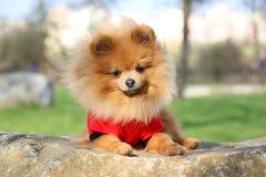 Pomeranian dog Royalty Free Stock Photos
