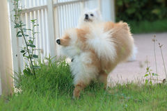 Pomeranian dog peeing on grass