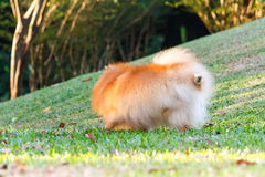 Pomeranian dog peeing on green grass Royalty Free Stock Photography