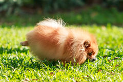 Pomeranian dog peeing on green grass in the garden Stock Photos