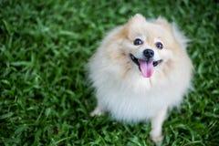 Pomeranian dog pet sitting Stock Image
