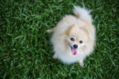 Pomeranian dog pet sitting Royalty Free Stock Image