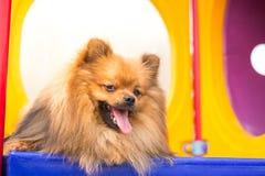 Pomeranian dog on playground. Royalty Free Stock Images