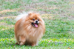 Pomeranian dog playing on green grass Royalty Free Stock Image