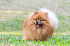 Pomeranian dog playing on green grass Stock Photos