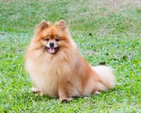 Pomeranian dog playing on green grass Stock Photography