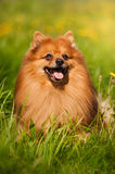 Pomeranian dog portrait Stock Photos
