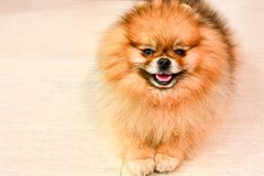 Pomeranian dog. Portrait of pure breed Pomeranian or german spitz dog royalty free stock photo