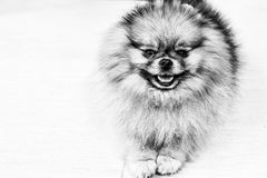 Pomeranian dog. Portrait of pure breed Pomeranian or german spitz dog stock image