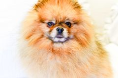 Pomeranian dog. Portrait of pure breed Pomeranian or german spitz dog stock image