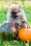 Pomeranian dog and pumpkin, halloween Royalty Free Stock Photography