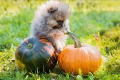 Pomeranian dog and pumpkin, halloween Stock Photos