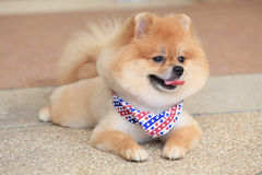 Pomeranian dog puppy cute pet Stock Photography