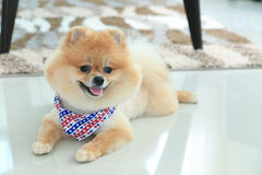 Pomeranian dog puppy cute pet Stock Photos