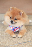 Pomeranian dog puppy cute pet Royalty Free Stock Images