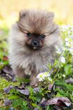 Pomeranian dog puppy outside royalty free stock photography