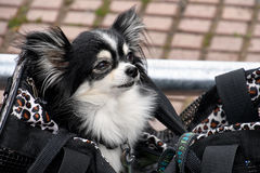 Pomeranian dog in purse. Black and white Pomeranian dog in large purse Stock Images