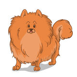 Pomeranian dog red. Pomeranian cute hairy dog. Vector illustration Stock Images