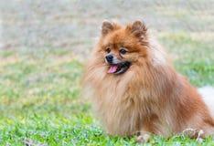 Pomeranian dog relaxing on green grass Stock Photo