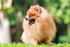 Pomeranian dog relaxing on green grass in the garden Royalty Free Stock Photos