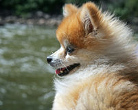 Pomeranian Dog at the River Stock Photography
