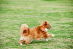 Pomeranian dog running Stock Photography