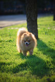 Pomeranian dog running green grass Stock Photos