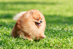 Pomeranian dog running on green grass in the garden Royalty Free Stock Photography