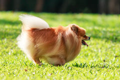 Pomeranian dog running on green grass in the garden Royalty Free Stock Images