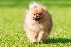 Pomeranian dog running on green grass in the garden Stock Image