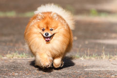 Pomeranian dog running on the road in the garden Stock Image