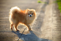 Pomeranian dog running on the village street Stock Photos