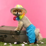 Pomeranian dog, shorts and Hawaiian lei, leaning on suitcase Stock Image