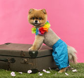 Pomeranian dog, shorts and Hawaiian lei, leaning on suitcase Stock Photos