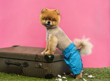 Pomeranian dog, shorts and Hawaiian lei, leaning on suitcase Stock Photo