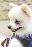 Pomeranian dog sit and stare . Royalty Free Stock Image