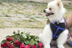 Pomeranian dog sit and stare with red roses Stock Photo