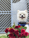Pomeranian dog sit and stare with red roses Stock Photography