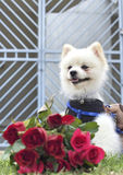 Pomeranian dog sit and stare with red roses Royalty Free Stock Photos