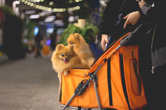 Pomeranian dog sit in the trolley in supermarket Royalty Free Stock Photos