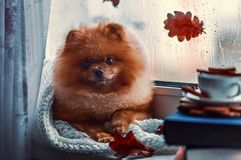 Pomeranian dog sits by the window and wrapped up in a blanket. Rain outside the window royalty free stock images