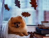 Pomeranian dog sits by the window and wrapped up in a blanket. Rain outside the window royalty free stock photography