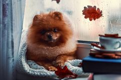 Pomeranian dog sits by the window and wrapped up in a blanket. Rain outside the window royalty free stock photos