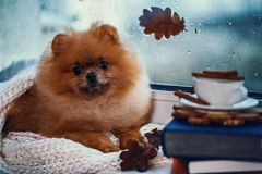 Pomeranian dog sits by the window and wrapped up in a blanket. Rain outside the window stock photos